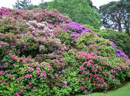irland-rododendron