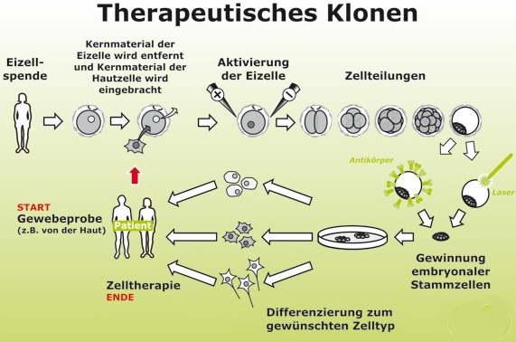 therapeutisches-klonen