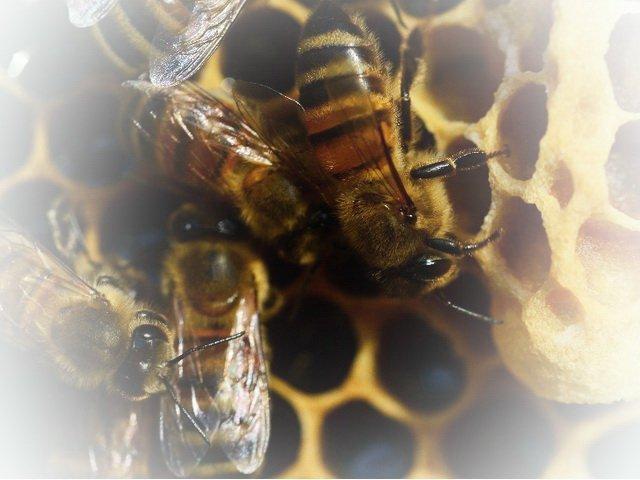 Bienen mit Waben
