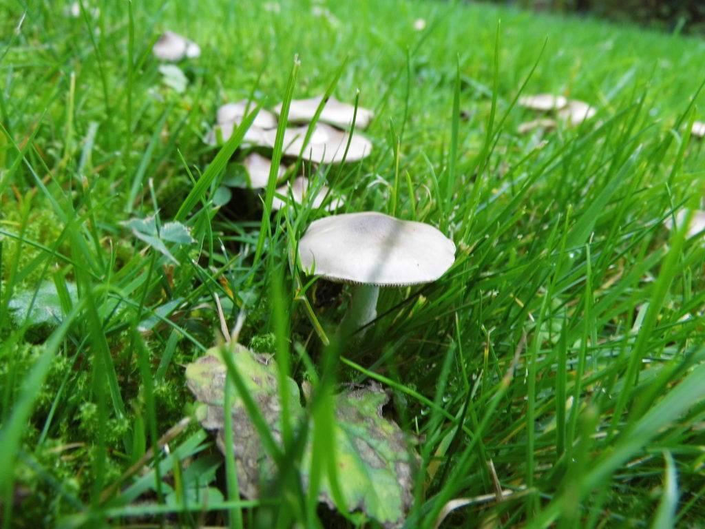 Pilze auf Wiese in unserem Vorgarten