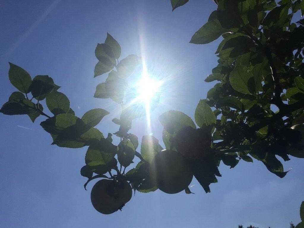 Apfelbaum - Nachmittag auf Streuobstwiese in Lehrte