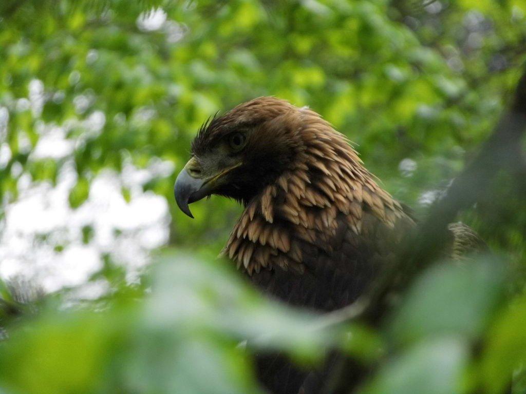 Adler - Tagesausflug Wisentgehege in Springe