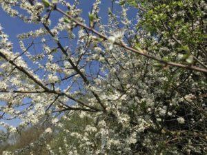 Spazieren gehen in Lehrte - Obstblüte