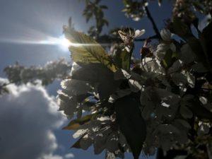 Spazieren gehen in Lehrte - Obstblüte im Sonnenschein