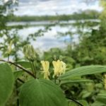 Blauer See Lehrte - Pflanzen