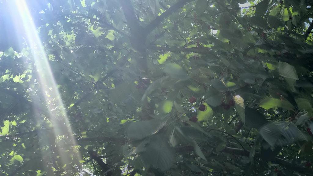 Kirschbaum am Blauen See