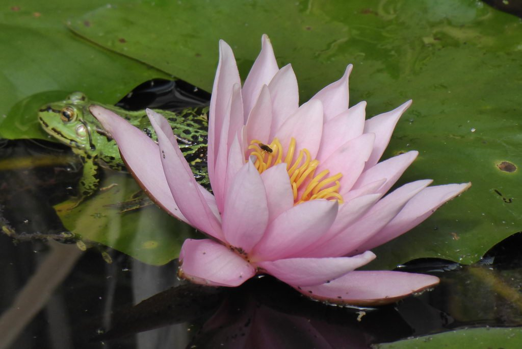 Teich am Heilpflanzengarten - Frosch mit Seerose