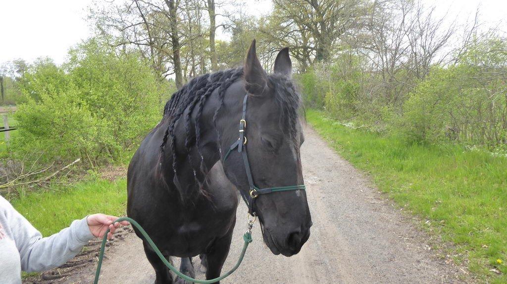 Ostfriese - alte Pferderasse