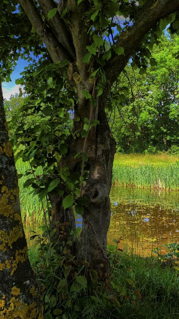 Kleinod hinter Bilm - verwachsener Baum